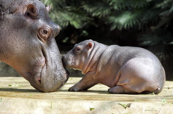 Hippopotamus baby Gregor (R) is caressed